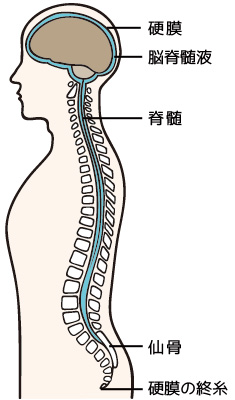 クレニオ効果2 脳と脊髄をすっぽり包み込んで保護している硬膜